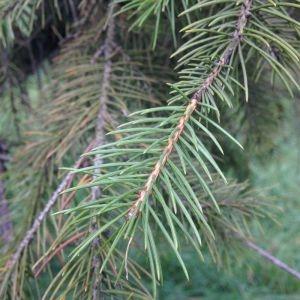 Photographie n°269244 du taxon Picea wilsonii Mast. [1903]