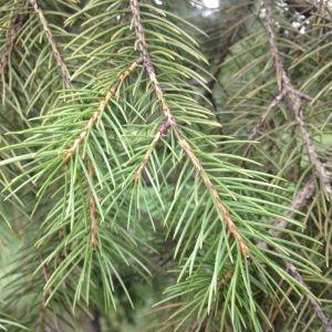 - Picea wilsonii Mast. [1903]
