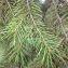 Pierre Bonnet - Picea wilsonii Mast. [1903]