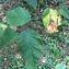 Pierre Bonnet - Ostrya carpinifolia Scop. [1772]