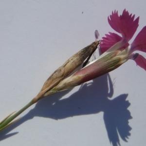 Photographie n°269340 du taxon Dianthus balbisii Ser. [1824]