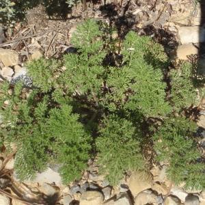 Photographie n°269345 du taxon Achillea nobilis L.