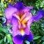 Hugo Santacreu - Iris germanica L. [1753]