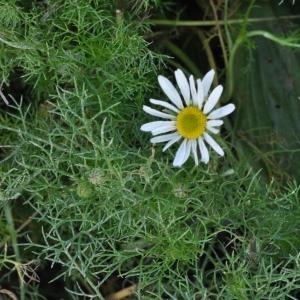 Photographie n°269529 du taxon Tripleurospermum inodorum (L.) Sch.Bip. [1844]
