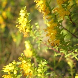 Photographie n°269582 du taxon Odontites luteus subsp. luteus