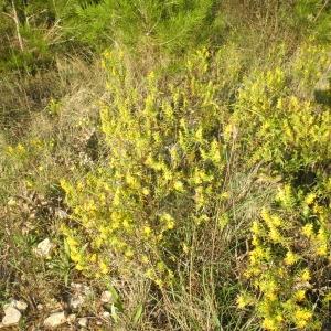 Photographie n°269583 du taxon Odontites luteus subsp. luteus