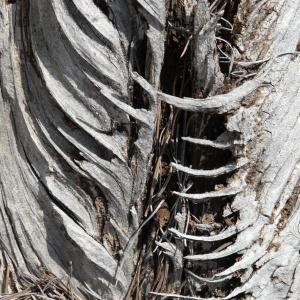 Photographie n°269597 du taxon Pinus halepensis Mill. [1768]