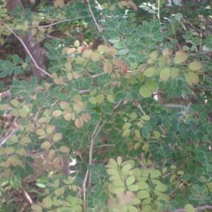 Photographie n°269671 du taxon Acacia gourmaensis A. Chev.