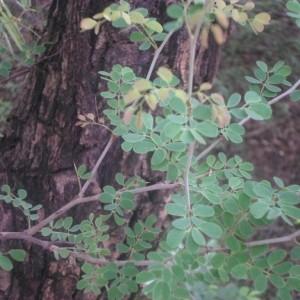 Photographie n°269672 du taxon Acacia gourmaensis A. Chev.