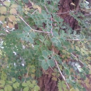 Photographie n°269673 du taxon Acacia gourmaensis A. Chev.