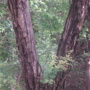 Photographie n°269674 du taxon Acacia gourmaensis A. Chev.