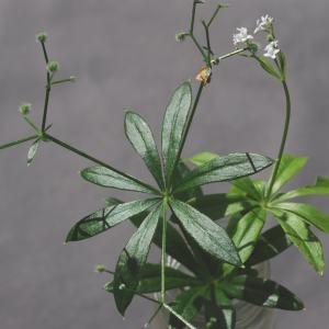 Photographie n°269817 du taxon Galium odoratum (L.) Scop. [1771]