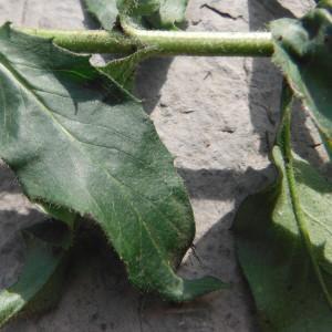 Photographie n°269905 du taxon Hieracium laevigatum Willd. [1803]