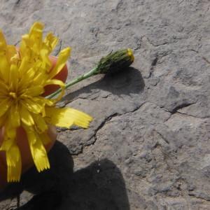 Photographie n°269906 du taxon Hieracium laevigatum Willd. [1803]