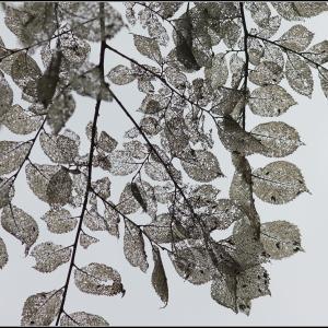 Ulmus sp. [1753] (Orme)