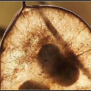 Photographie n°270050 du taxon Lunaria annua L.