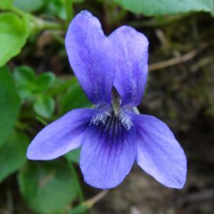 Viola canina L. subsp. canina (Violette des chiens)