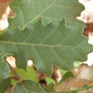 Photographie n°270118 du taxon Quercus pubescens Willd. [1805]