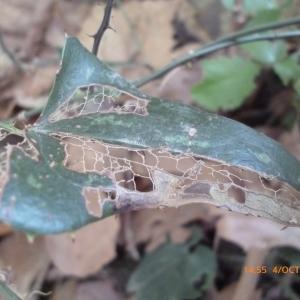 Photographie n°270131 du taxon Smilax aspera L. [1753]