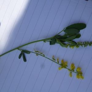 Photographie n°270144 du taxon Melilotus officinalis (L.) Lam. [1779]
