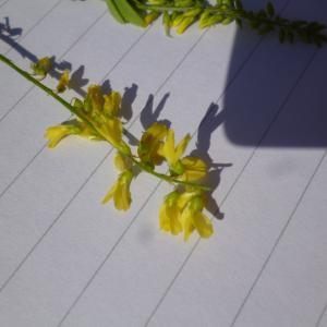 Photographie n°270145 du taxon Melilotus officinalis (L.) Lam. [1779]