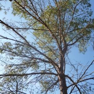 Photographie n°270160 du taxon Pinus halepensis Mill. [1768]