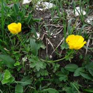 Photographie n°270386 du taxon Ranunculus montanus Willd. [1799]