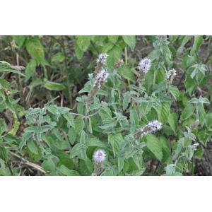 Mentha spicata L. subsp. spicata (Menthe en épi)