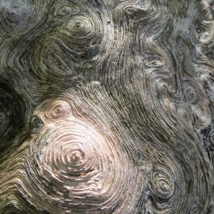 - Quercus pubescens Willd. [1805]
