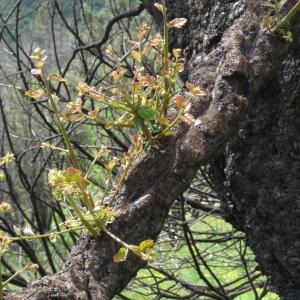 Photographie n°270471 du taxon Quercus suber L. [1753]