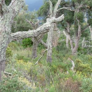 Photographie n°270473 du taxon Quercus suber L. [1753]