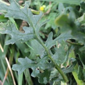 Photographie n°270485 du taxon Jacobaea erucifolia (L.) G.Gaertn., B.Mey. & Scherb. [1801]