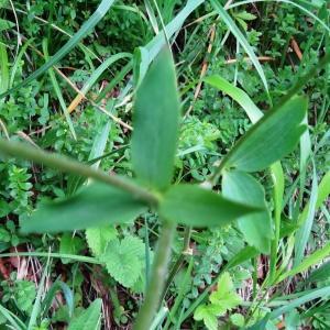 Photographie n°270540 du taxon Aquilegia vulgaris subsp. vulgaris