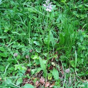 Photographie n°270541 du taxon Dactylorhiza fuchsii (Druce) Soó [1962]
