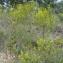 Ruddy Benezet - Odontites luteus subsp. luteus