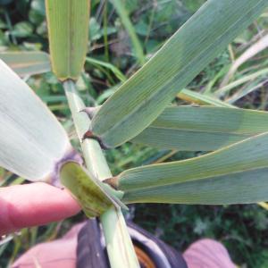 Photographie n°270758 du taxon Phragmites australis (Cav.) Trin. ex Steud.