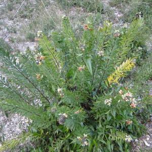 Photographie n°270786 du taxon Daphne gnidium L. [1753]