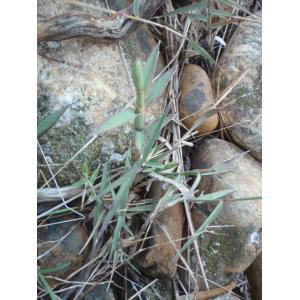 Kengia serotina (L.) Packer (Molinie tardive)