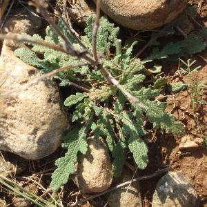 Salvia verbenaca subsp. clandestina (L.) Batt. (Sauge clandestine)