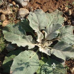 Photographie n°270984 du taxon Verbascum L. [1753]