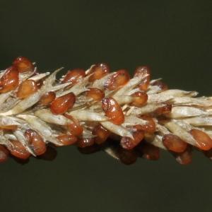 - Sporobolus indicus (L.) R.Br.