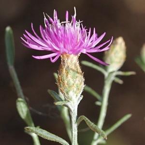 Photographie n°271101 du taxon Centaurea paniculata L. [1753]