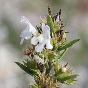 - Satureja montana L. [1753]