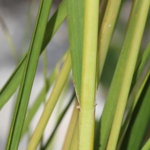 Photographie n°271148 du taxon Festuca arundinacea Schreb. [1771]