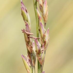 Photographie n°271149 du taxon Festuca arundinacea Schreb. [1771]