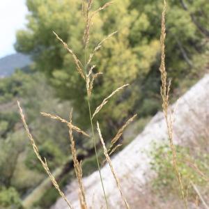 Photographie n°271152 du taxon Festuca arundinacea Schreb. [1771]