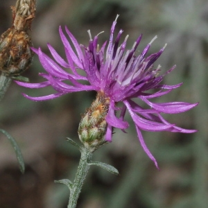 Photographie n°271163 du taxon Centaurea paniculata L. [1753]
