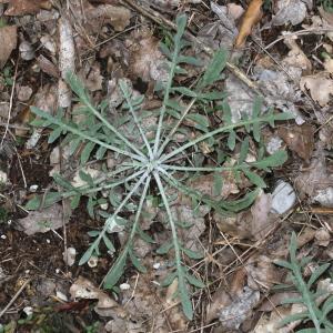 Photographie n°271164 du taxon Centaurea paniculata L. [1753]