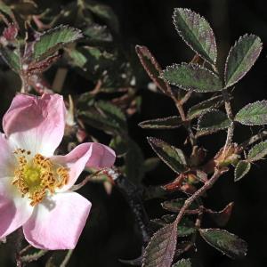 Photographie n°271204 du taxon Rosa agrestis Savi [1798]