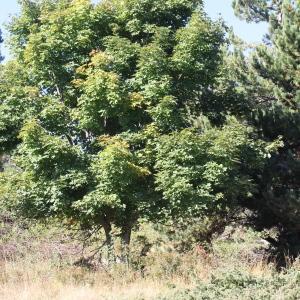 Photographie n°271209 du taxon Acer pseudoplatanus L.